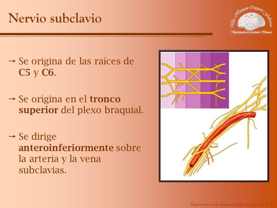 Nervio subclavio Se origina de las raíces de C5 y C6.