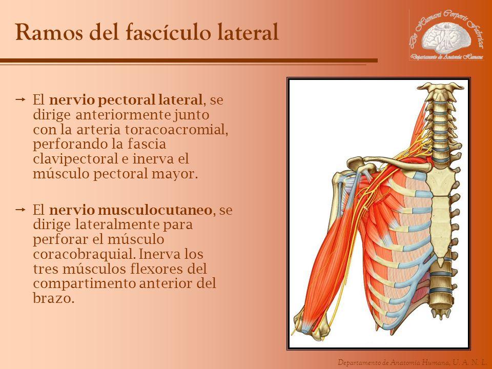 Ramos del fascículo lateral