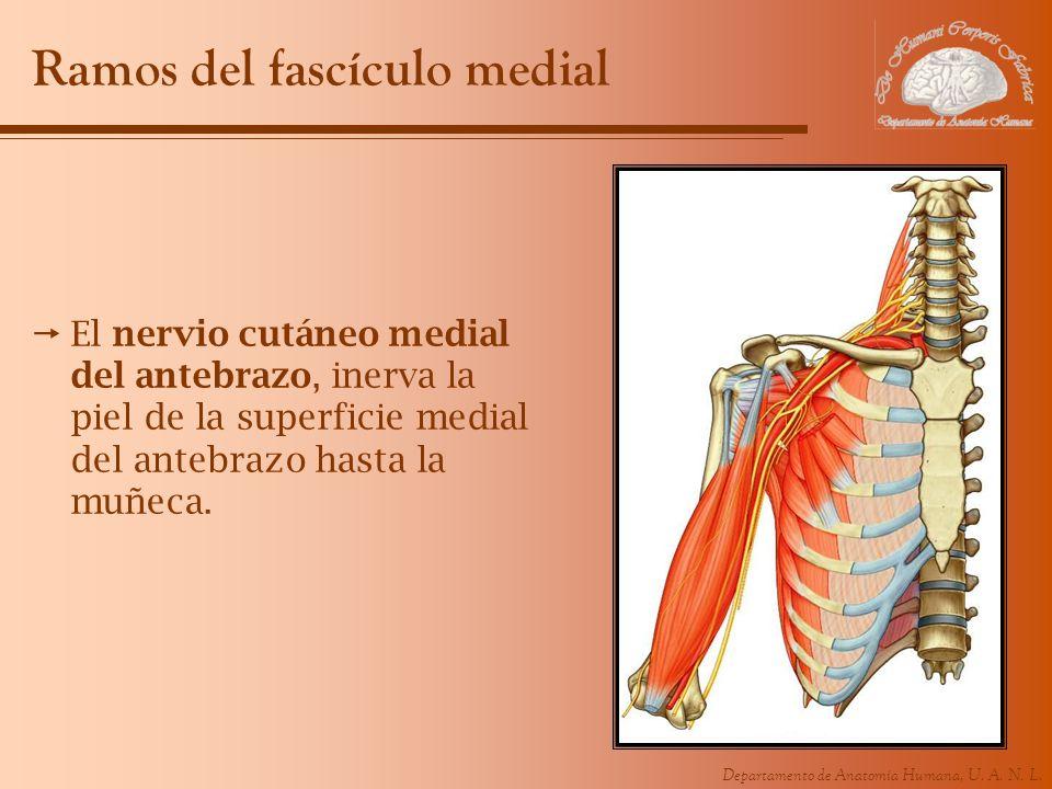 Ramos del fascículo medial