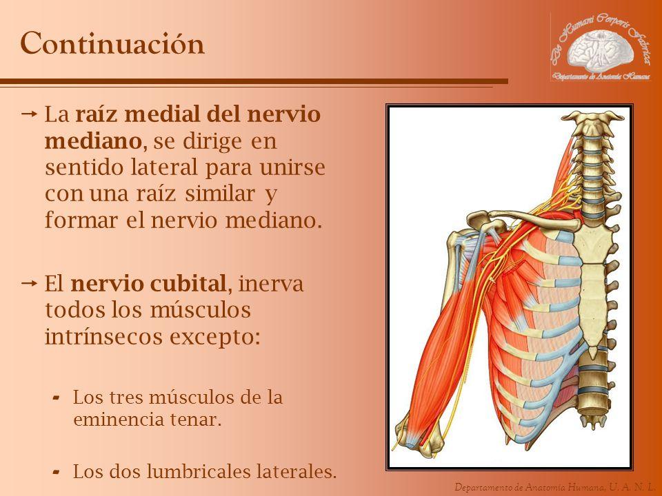 Continuación La raíz medial del nervio mediano, se dirige en sentido lateral para unirse con una raíz similar y formar el nervio mediano.