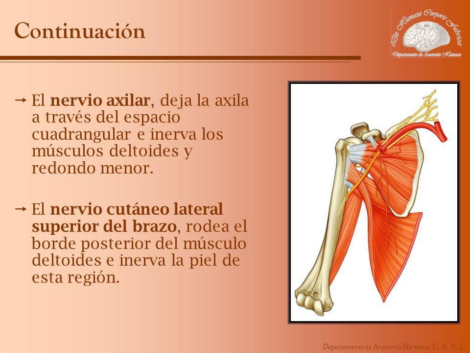 Continuación El nervio axilar, deja la axila a través del espacio cuadrangular e inerva los músculos deltoides y redondo menor.