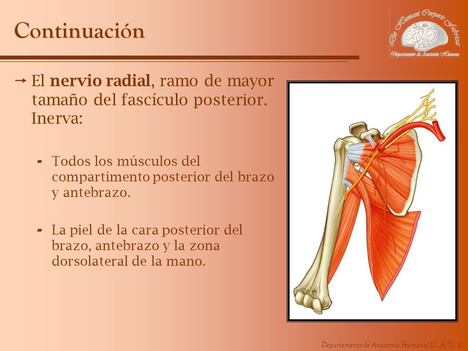 Continuación El nervio radial, ramo de mayor tamaño del fascículo posterior. Inerva: