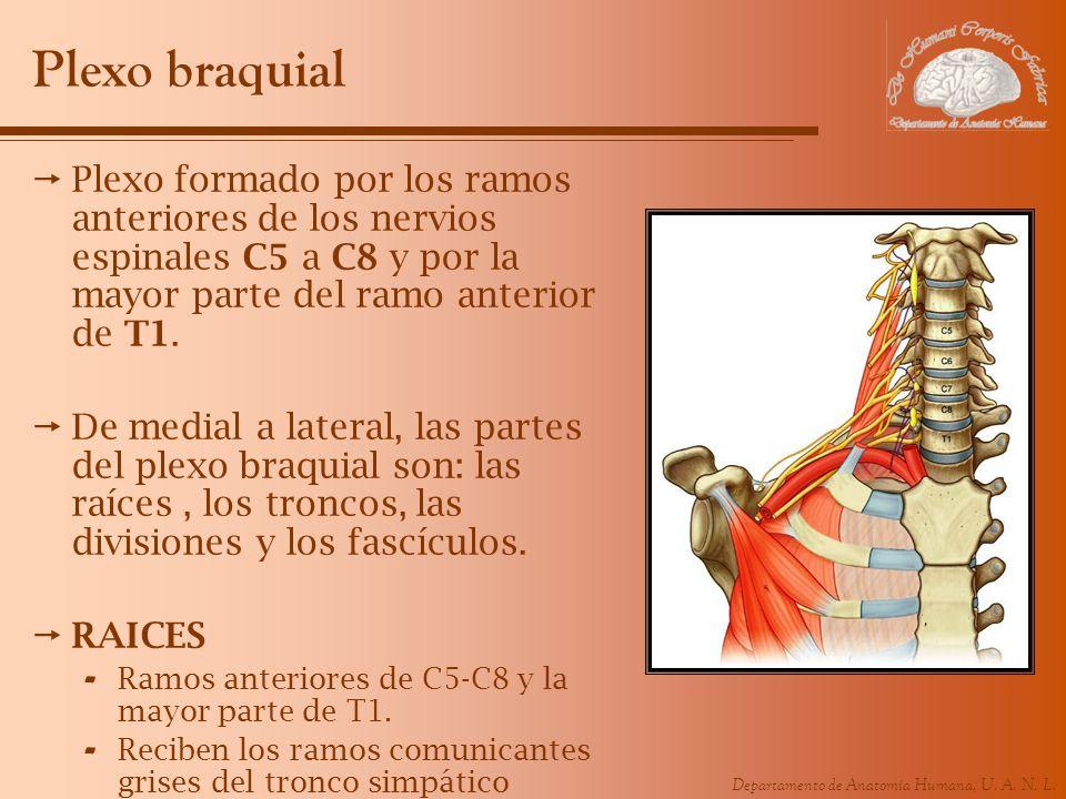 Plexo braquial Plexo formado por los ramos anteriores de los nervios espinales C5 a C8 y por la mayor parte del ramo anterior de T1.