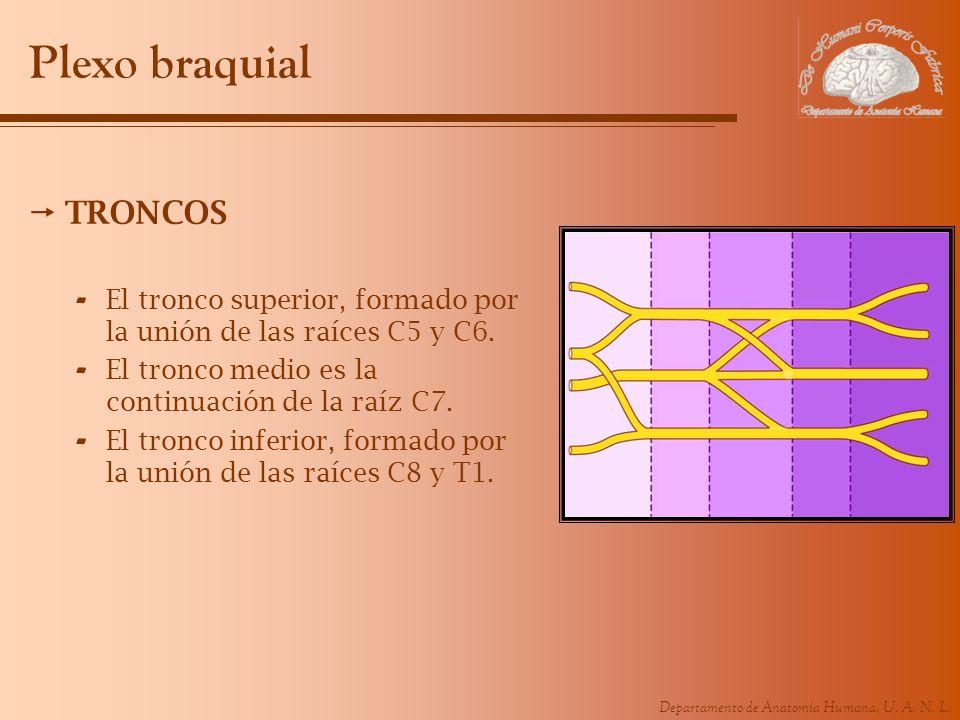 Plexo braquial TRONCOS