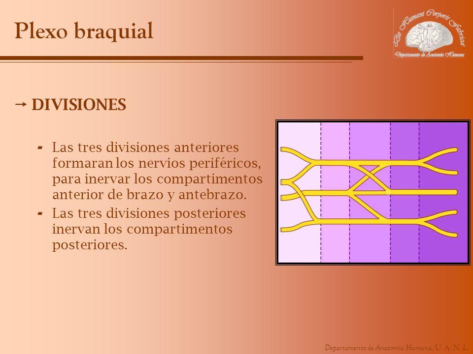 Plexo braquial DIVISIONES