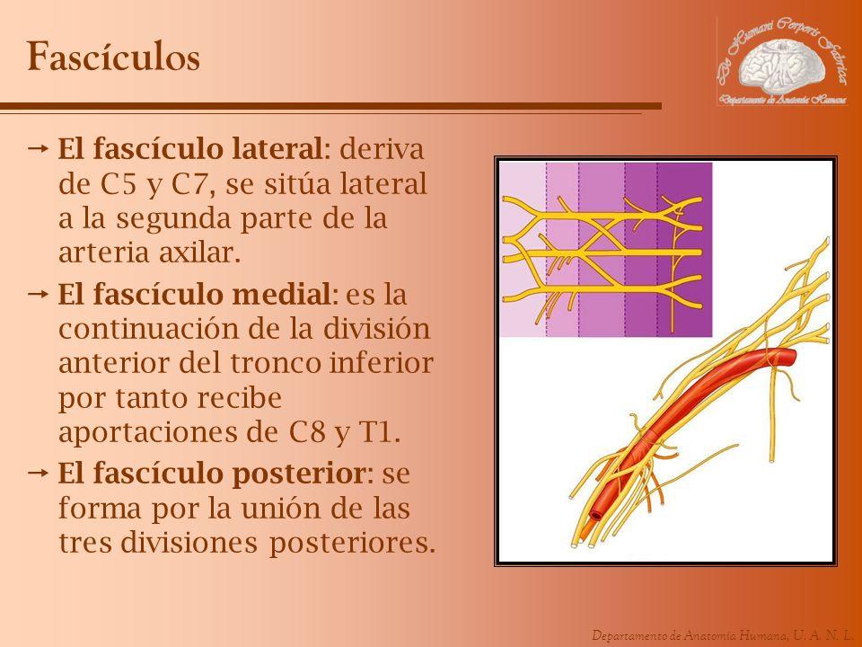 Fascículos El fascículo lateral: deriva de C5 y C7, se sitúa lateral a la segunda parte de la arteria axilar.