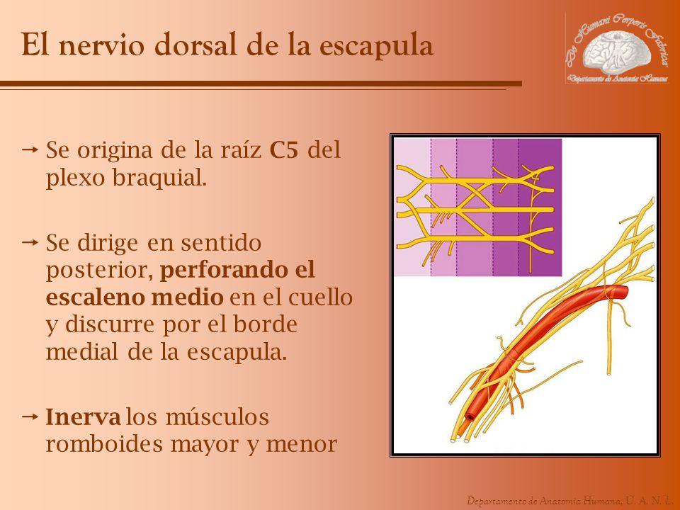 El nervio dorsal de la escapula