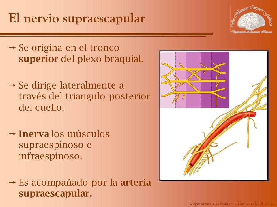 El nervio supraescapular