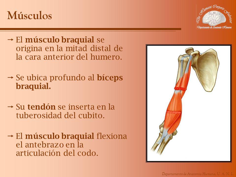 Músculos El músculo braquial se origina en la mitad distal de la cara anterior del humero. Se ubica profundo al bíceps braquial.