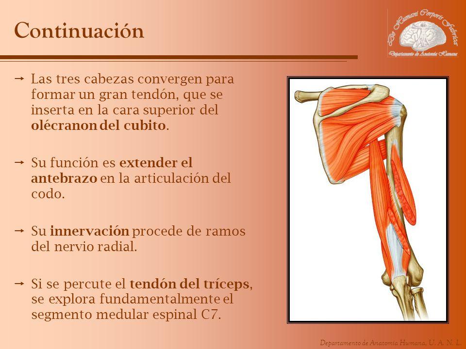 ContinuaciónLas tres cabezas convergen para formar un gran tendón, que se inserta en la cara superior del olécranon del cubito.