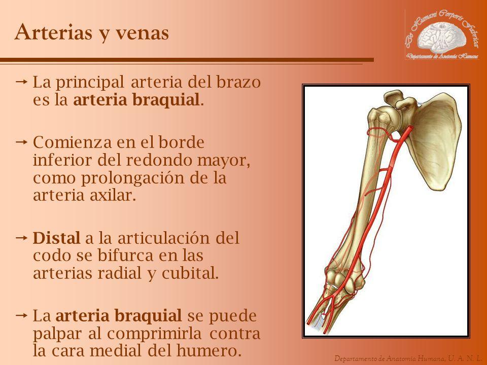 Arterias y venas La principal arteria del brazo es la arteria braquial.
