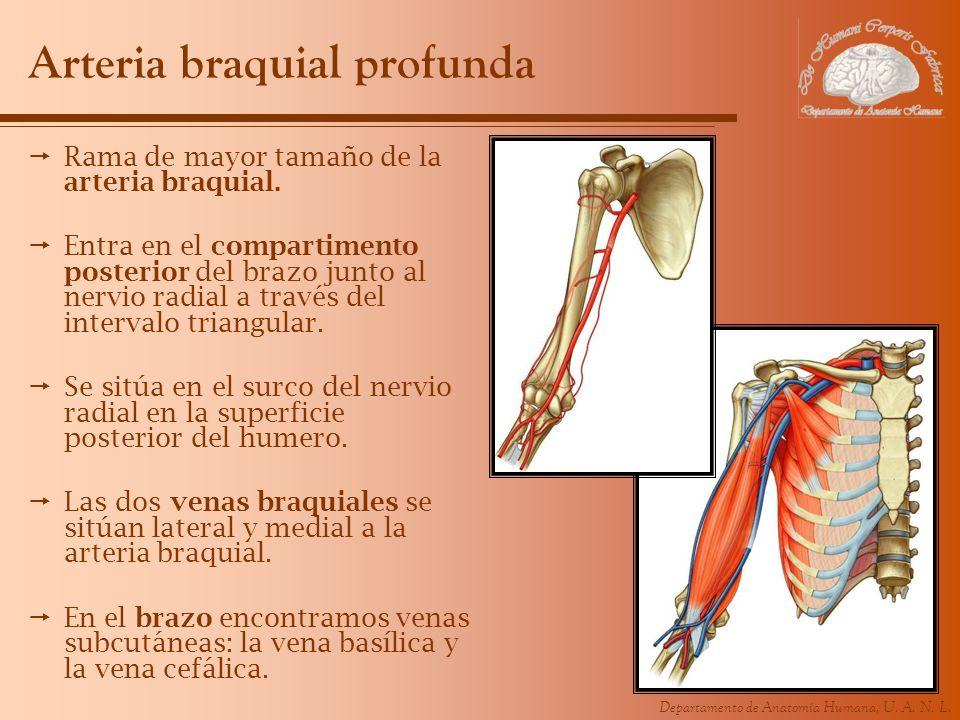 Arteria braquial profunda