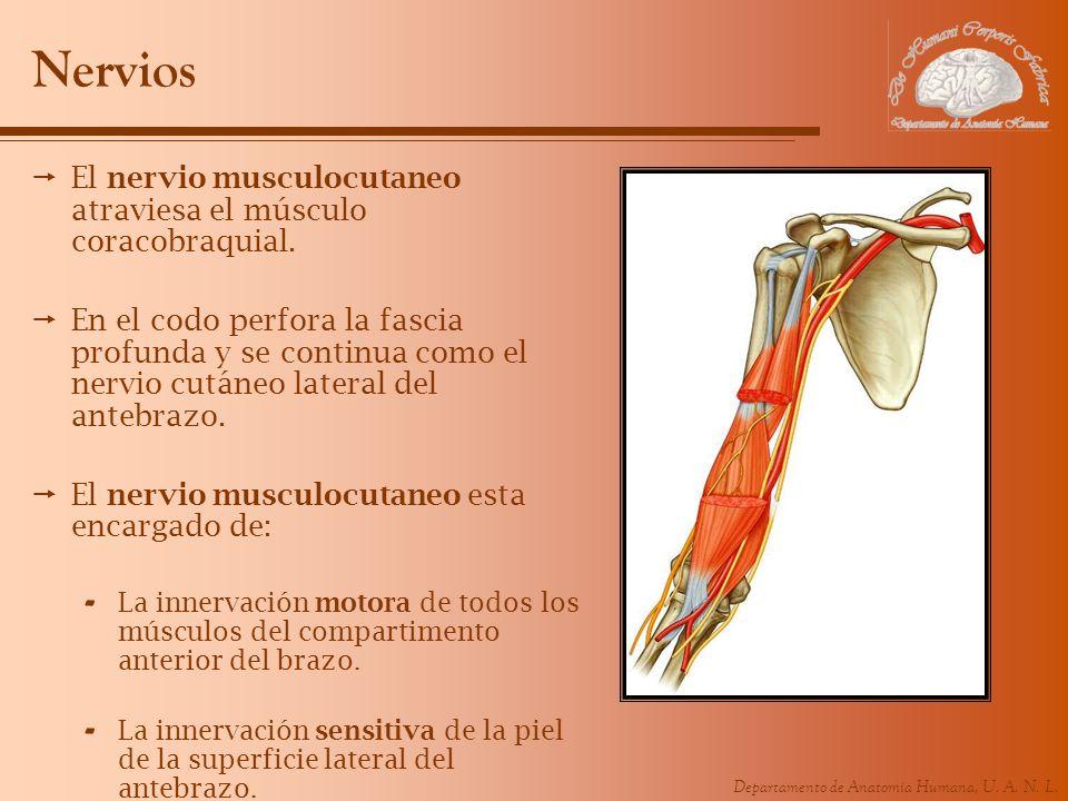 Nervios El nervio musculocutaneo atraviesa el músculo coracobraquial.