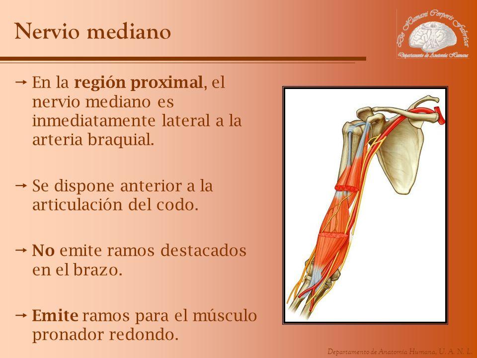 Nervio medianoEn la región proximal, el nervio mediano es inmediatamente lateral a la arteria braquial.