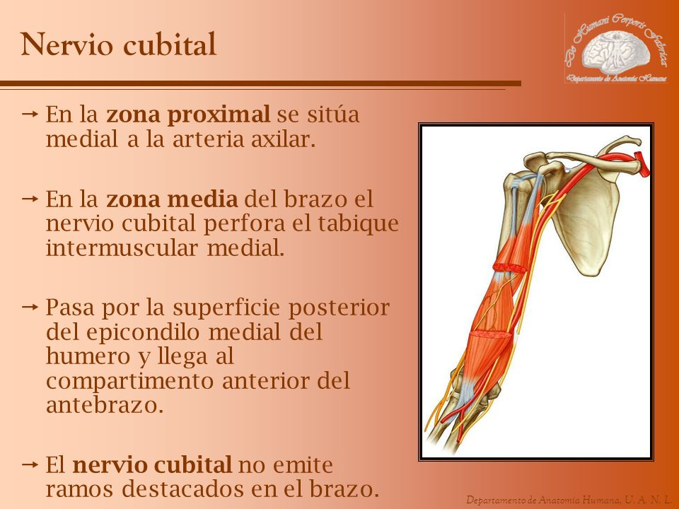 Nervio cubital En la zona proximal se sitúa medial a la arteria axilar.