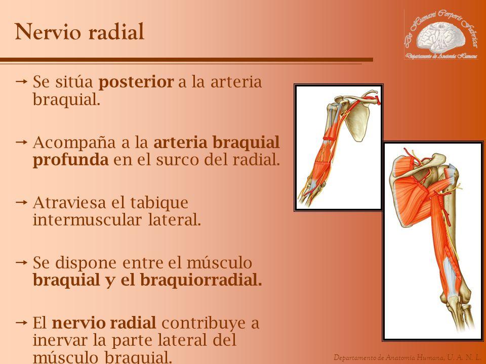Nervio radial Se sitúa posterior a la arteria braquial.