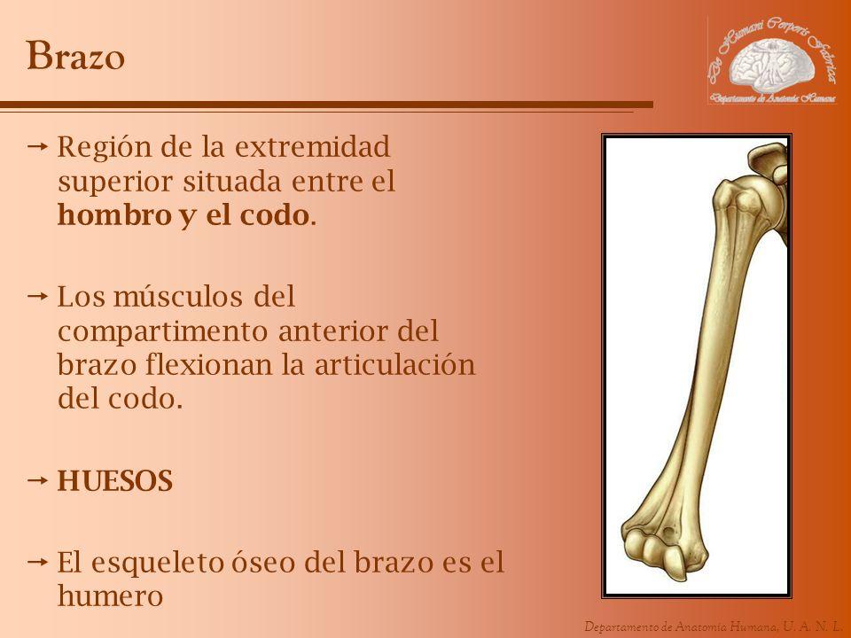 Brazo Región de la extremidad superior situada entre el hombro y el codo.