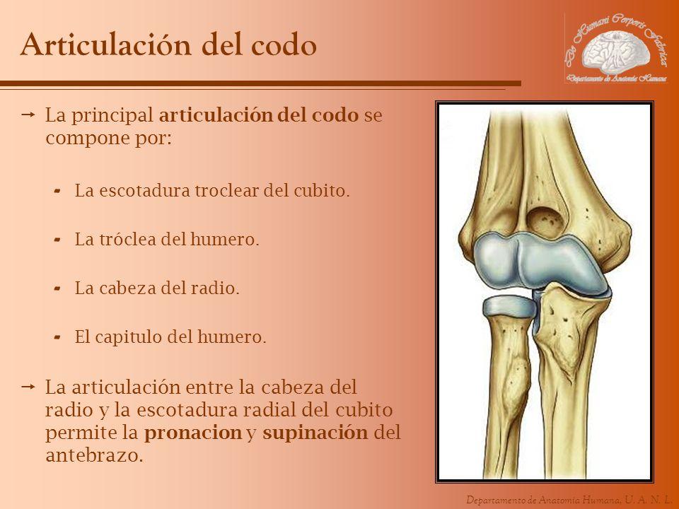 Articulación del codo La principal articulación del codo se compone por: La escotadura troclear del cubito.