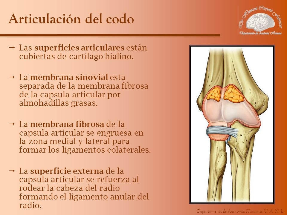 Articulación del codoLas superficies articulares están cubiertas de cartílago hialino.