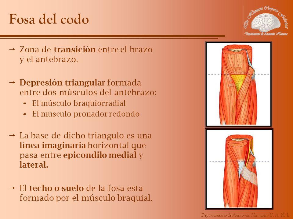 Fosa del codo Zona de transición entre el brazo y el antebrazo.