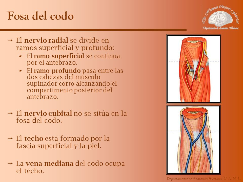 Fosa del codoEl nervio radial se divide en ramos superficial y profundo: El ramo superficial se continua por el antebrazo.