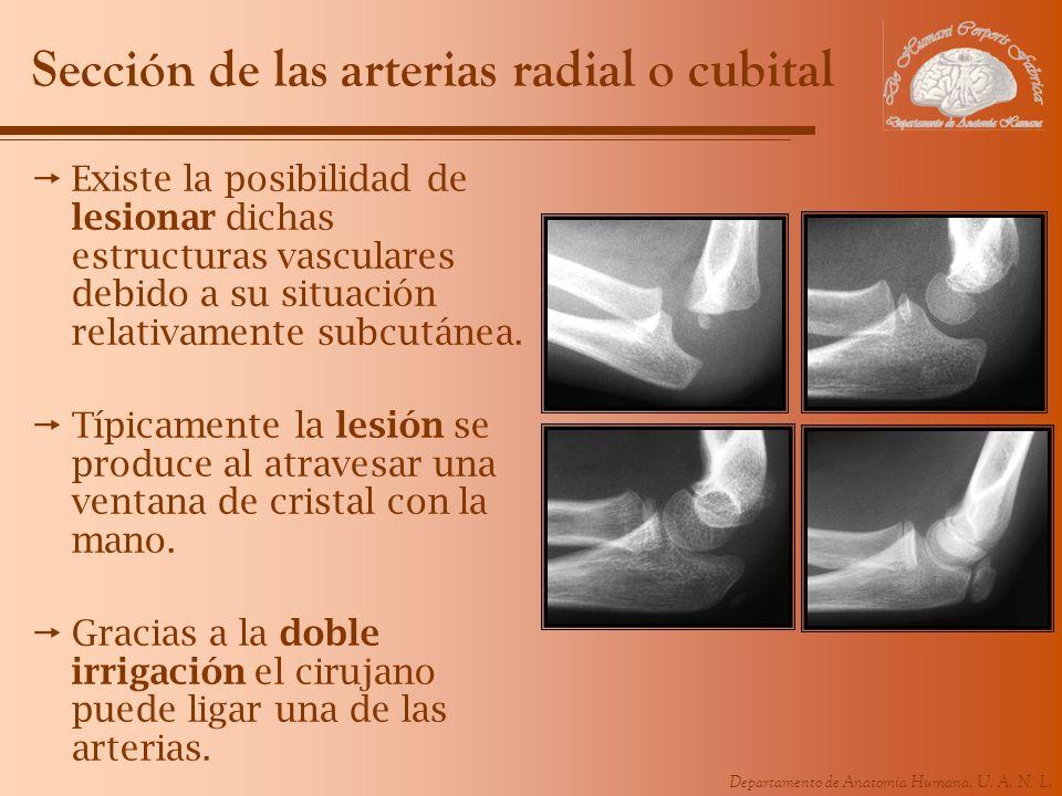 Sección de las arterias radial o cubital