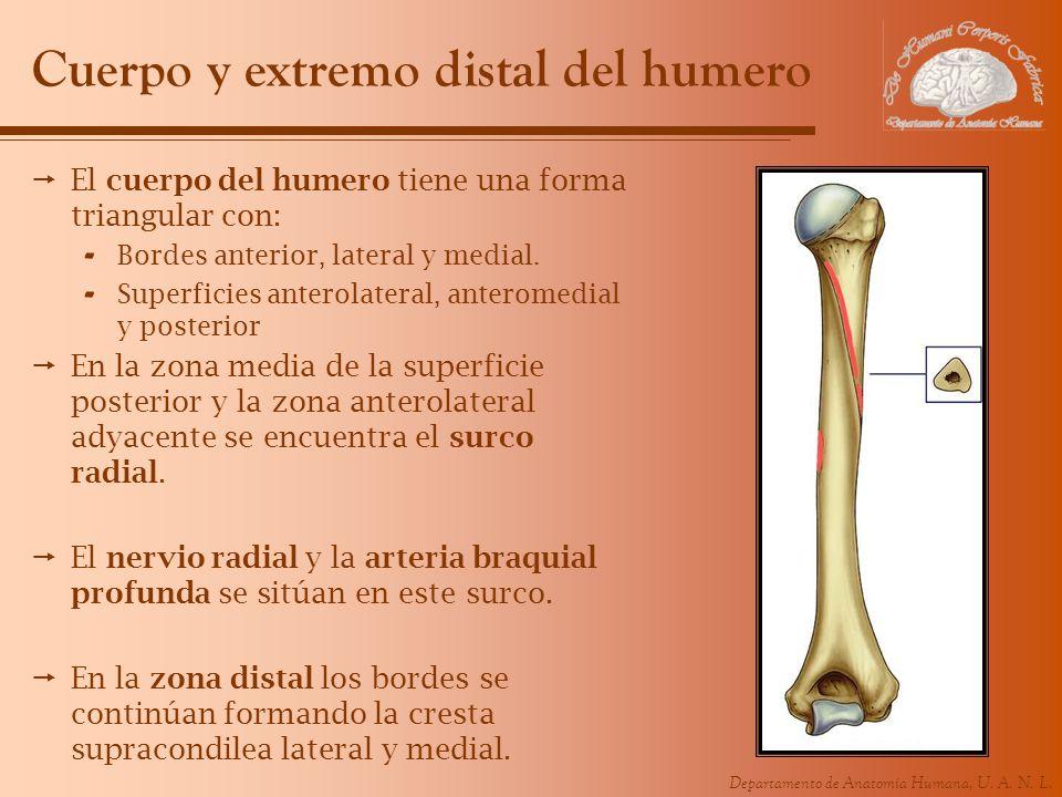 Cuerpo y extremo distal del humero