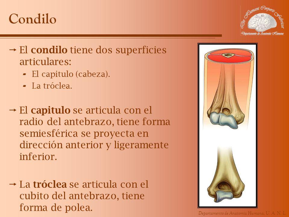 Condilo El condilo tiene dos superficies articulares: