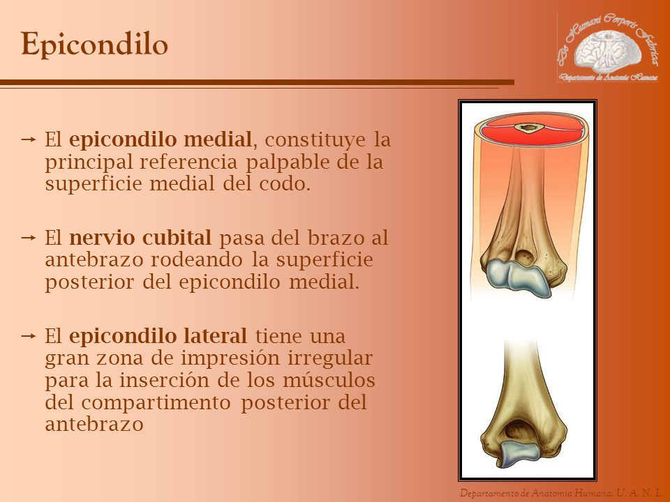 Epicondilo El epicondilo medial, constituye la principal referencia palpable de la superficie medial del codo.