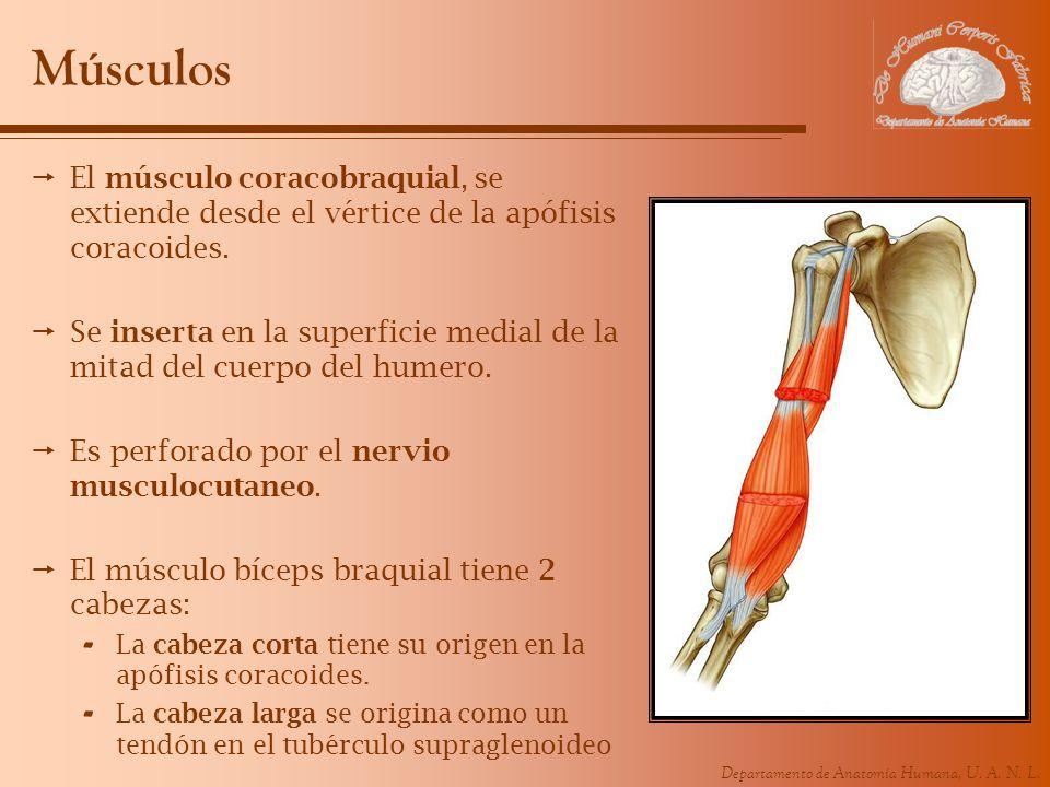 MúsculosEl músculo coracobraquial, se extiende desde el vértice de la apófisis coracoides.