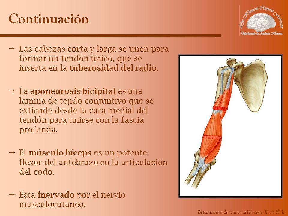 ContinuaciónLas cabezas corta y larga se unen para formar un tendón único, que se inserta en la tuberosidad del radio.