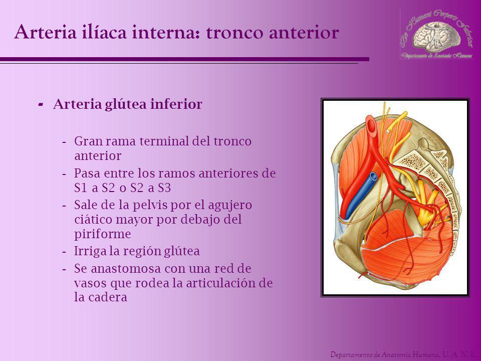 Arteria ilíaca interna: tronco anterior