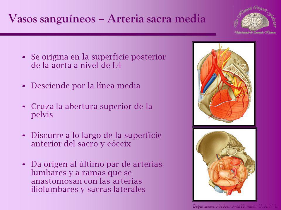 Vasos sanguíneos – Arteria sacra media