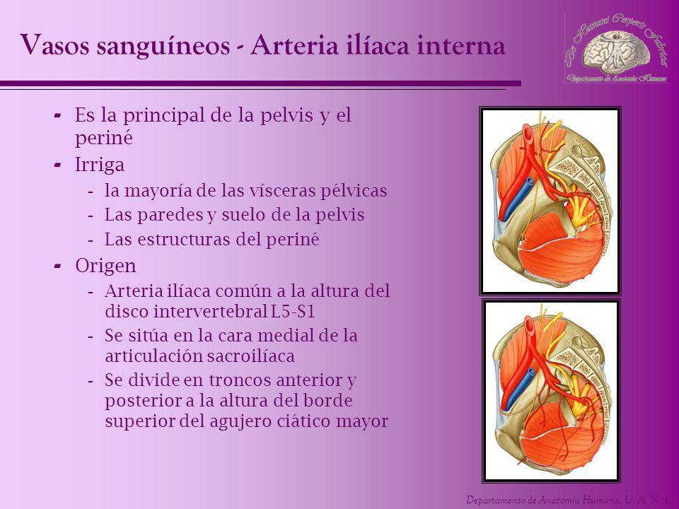 Vasos sanguíneos - Arteria ilíaca interna