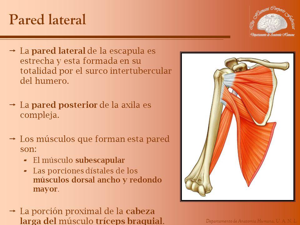 Pared lateralLa pared lateral de la escapula es estrecha y esta formada en su totalidad por el surco intertubercular del humero.