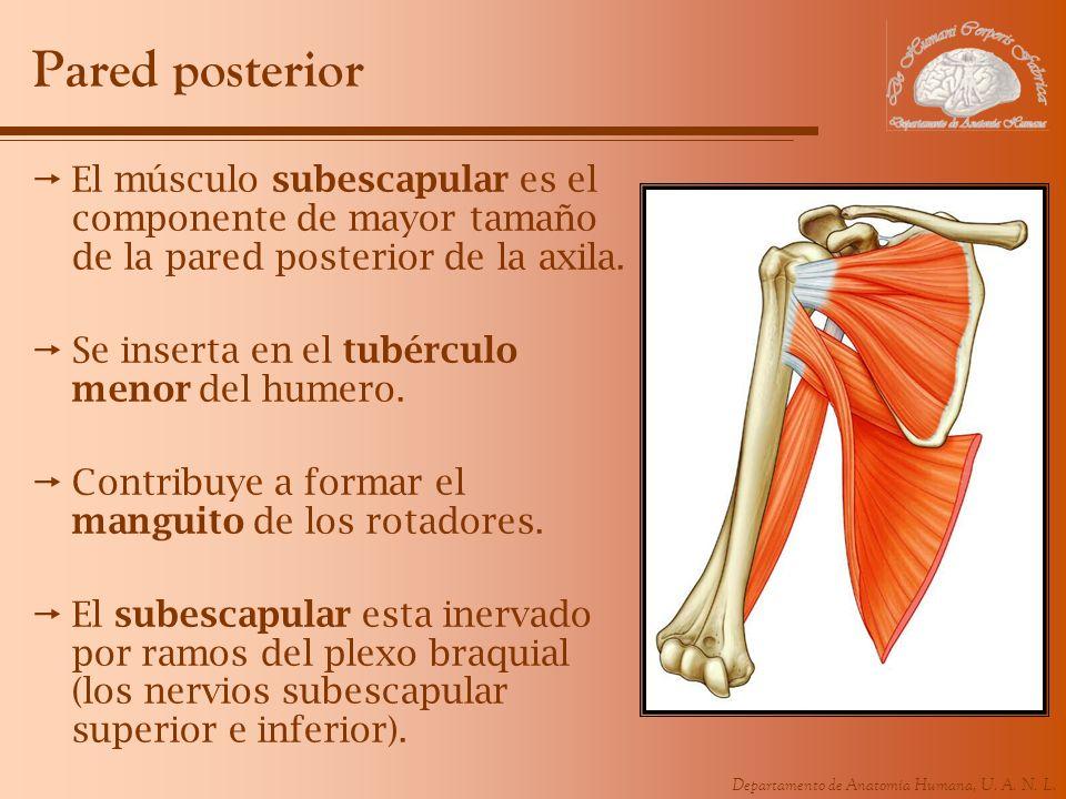 Pared posterior El músculo subescapular es el componente de mayor tamaño de la pared posterior de la axila.