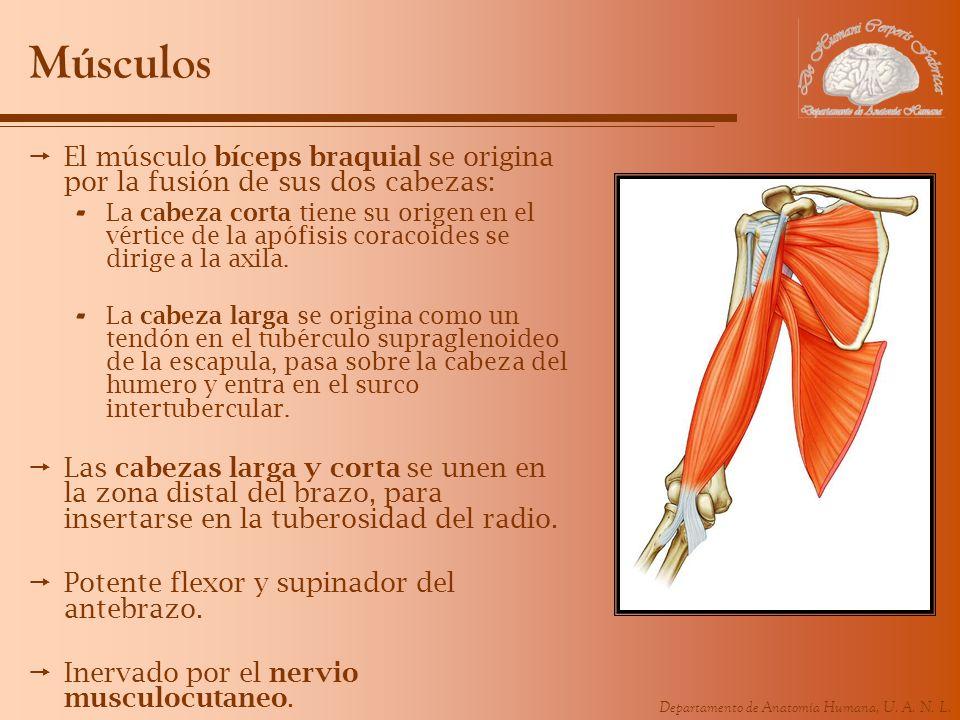 MúsculosEl músculo bíceps braquial se origina por la fusión de sus dos cabezas: