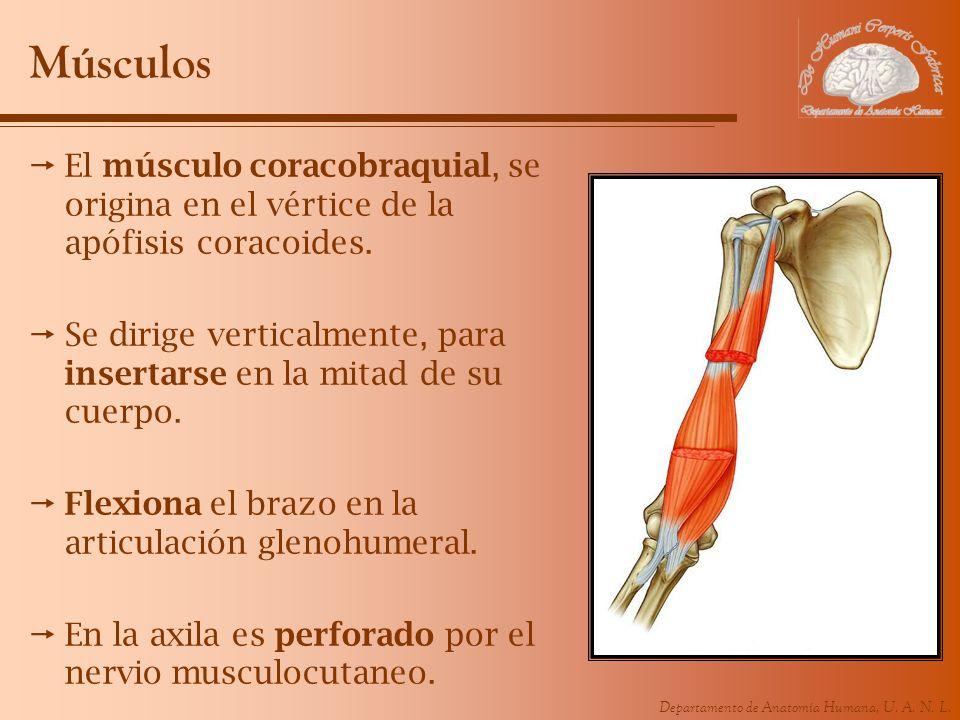 Músculos El músculo coracobraquial, se origina en el vértice de la apófisis coracoides.