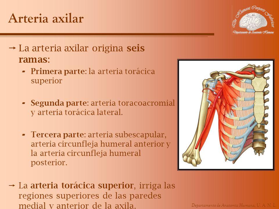 Arteria axilar La arteria axilar origina seis ramas: