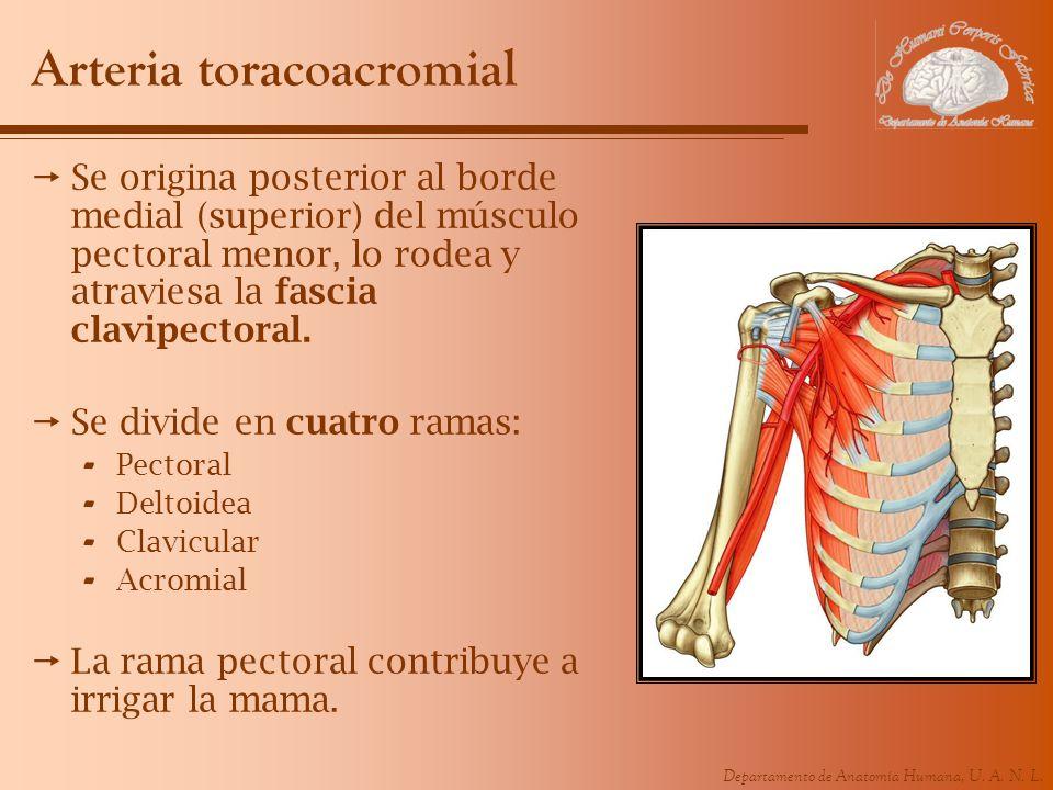 Arteria toracoacromial