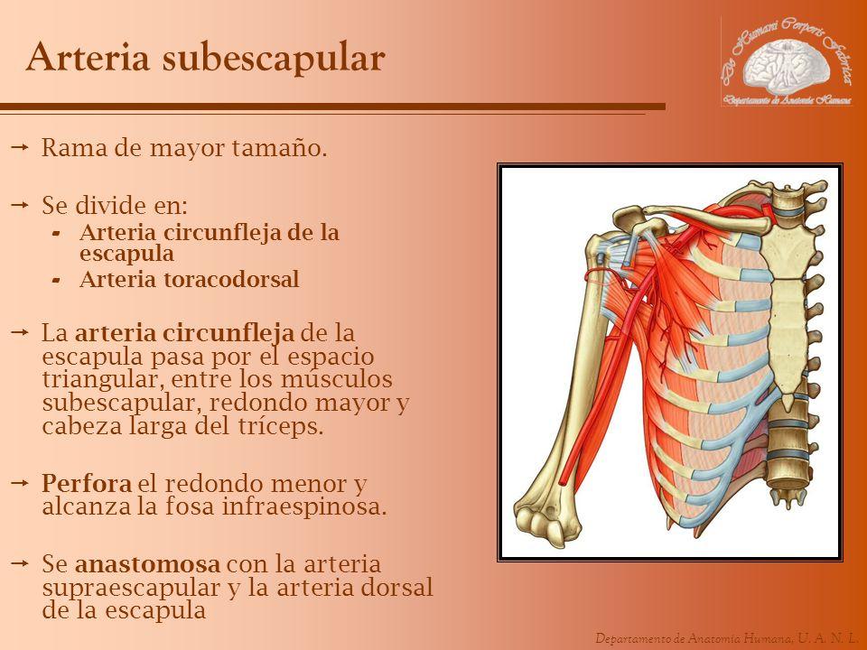 Arteria subescapular Rama de mayor tamaño. Se divide en: