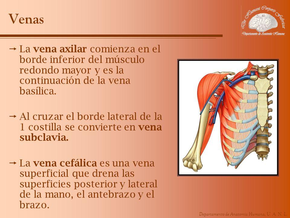 Venas La vena axilar comienza en el borde inferior del músculo redondo mayor y es la continuación de la vena basílica.