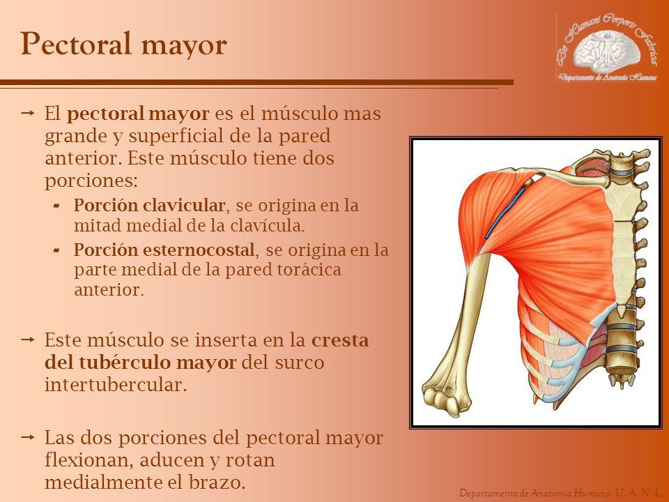 Pectoral mayor El pectoral mayor es el músculo mas grande y superficial de la pared anterior. Este músculo tiene dos porciones: