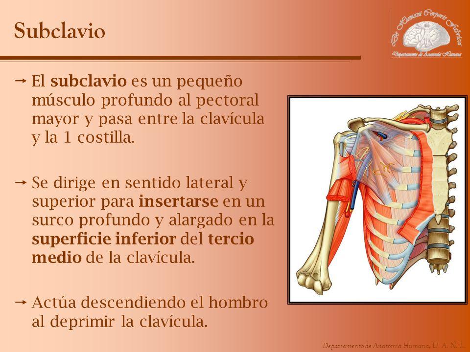 SubclavioEl subclavio es un pequeño músculo profundo al pectoral mayor y pasa entre la clavícula y la 1 costilla.