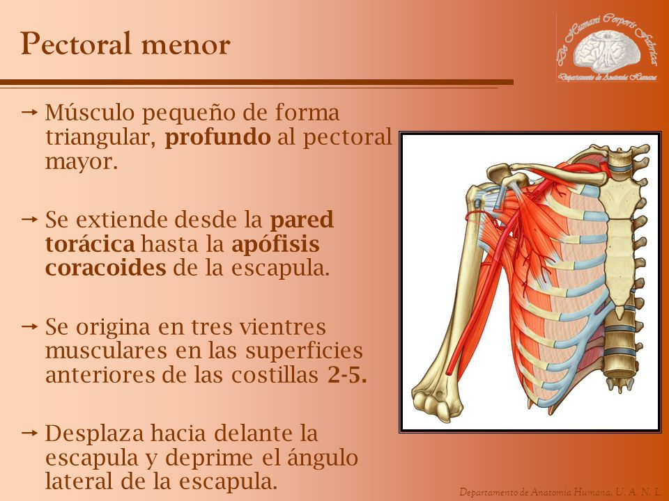 Pectoral menor Músculo pequeño de forma triangular, profundo al pectoral mayor.