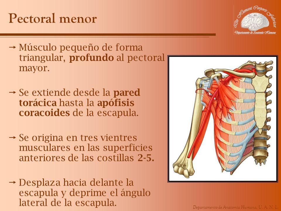 Pectoral menorMúsculo pequeño de forma triangular, profundo al pectoral mayor.