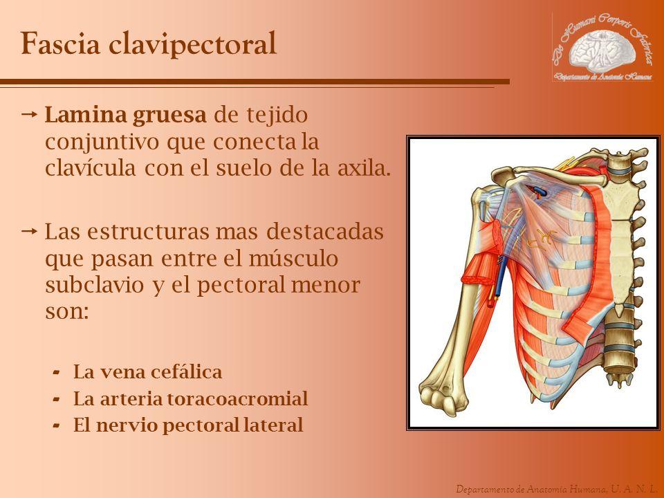 Fascia clavipectoral Lamina gruesa de tejido conjuntivo que conecta la clavícula con el suelo de la axila.