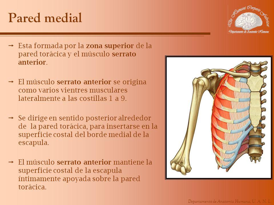 Pared medial Esta formada por la zona superior de la pared torácica y el músculo serrato anterior.