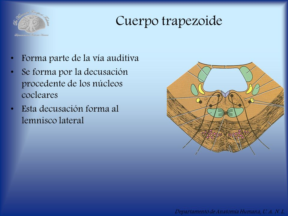 Cuerpo trapezoide Forma parte de la vía auditiva