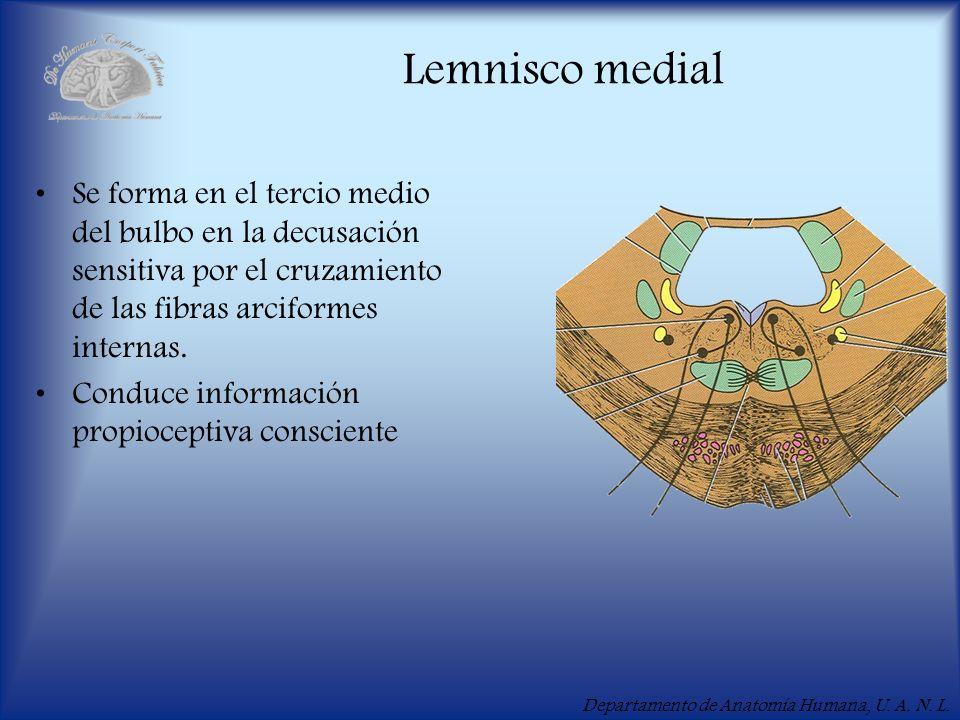Lemnisco medialSe forma en el tercio medio del bulbo en la decusación sensitiva por el cruzamiento de las fibras arciformes internas.